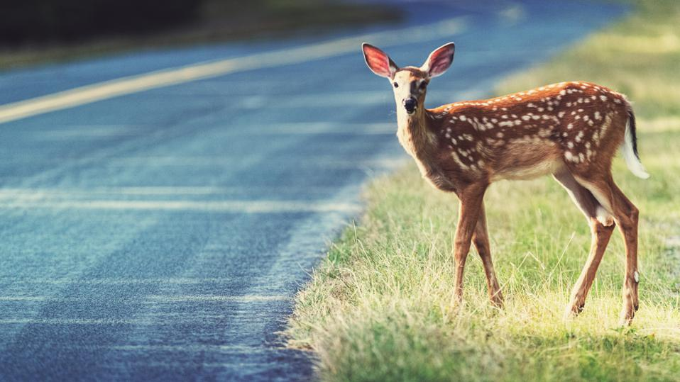 Cautious Fawn