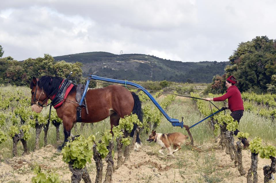 FRANCE-AGRICULTURE-VITICULTURE