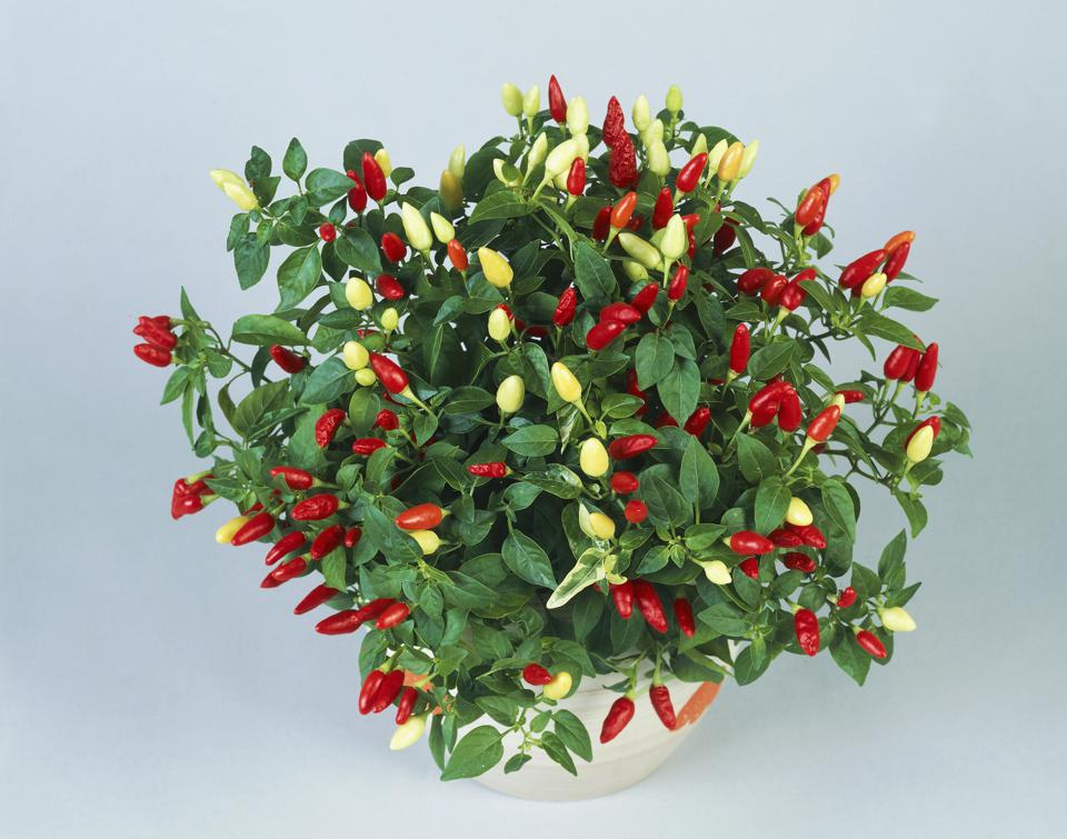 Chili pepper or Sweet and chili peppers...