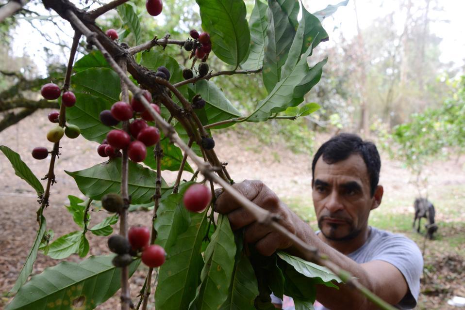 HONDURAS-AGRICULTURE-COFFEE-PLAGUE