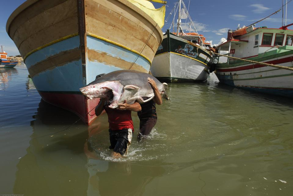 Commercial fishing in Brazil, two fishermen carry a shark