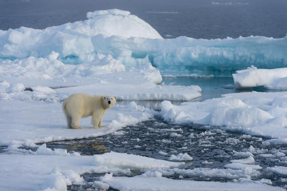 A polar bear on the ice off the coast of Svalbard, Norway