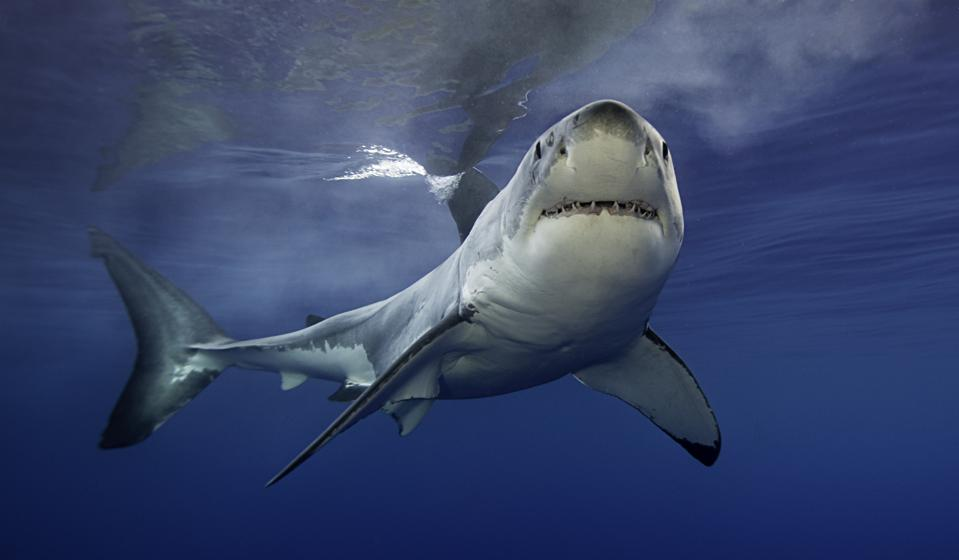 Great white shark swimming in clear ocean water
