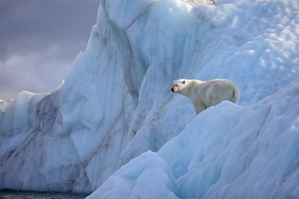 Polar bears live on Franz Josef Land.