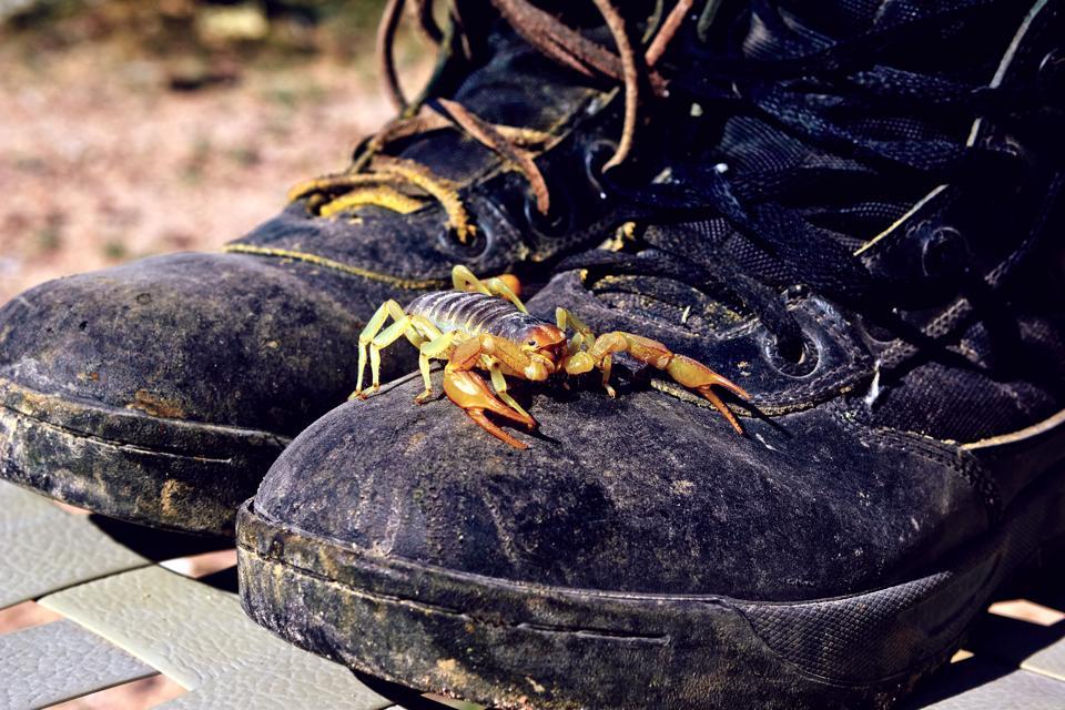 Arizona's Black Scorpion on boots