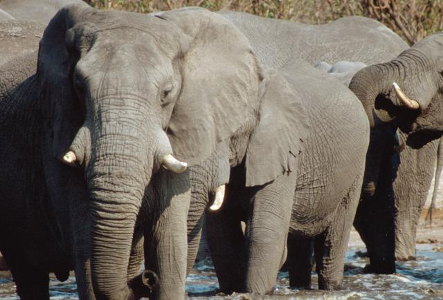 Lift The Hunting Ban, Save Botswana's Elephants
