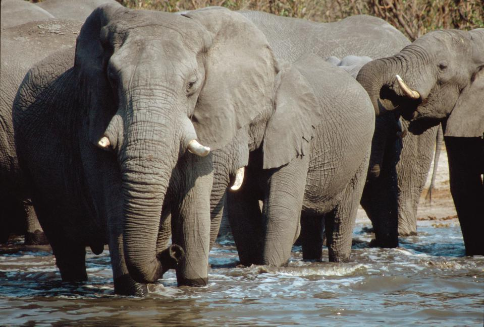 Herd of African Elephants. Okavango River. Chobe National Park. Botswana. Africa