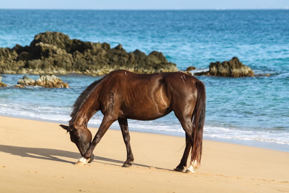 Wild horse on the beach Vieques Puerto Rico
