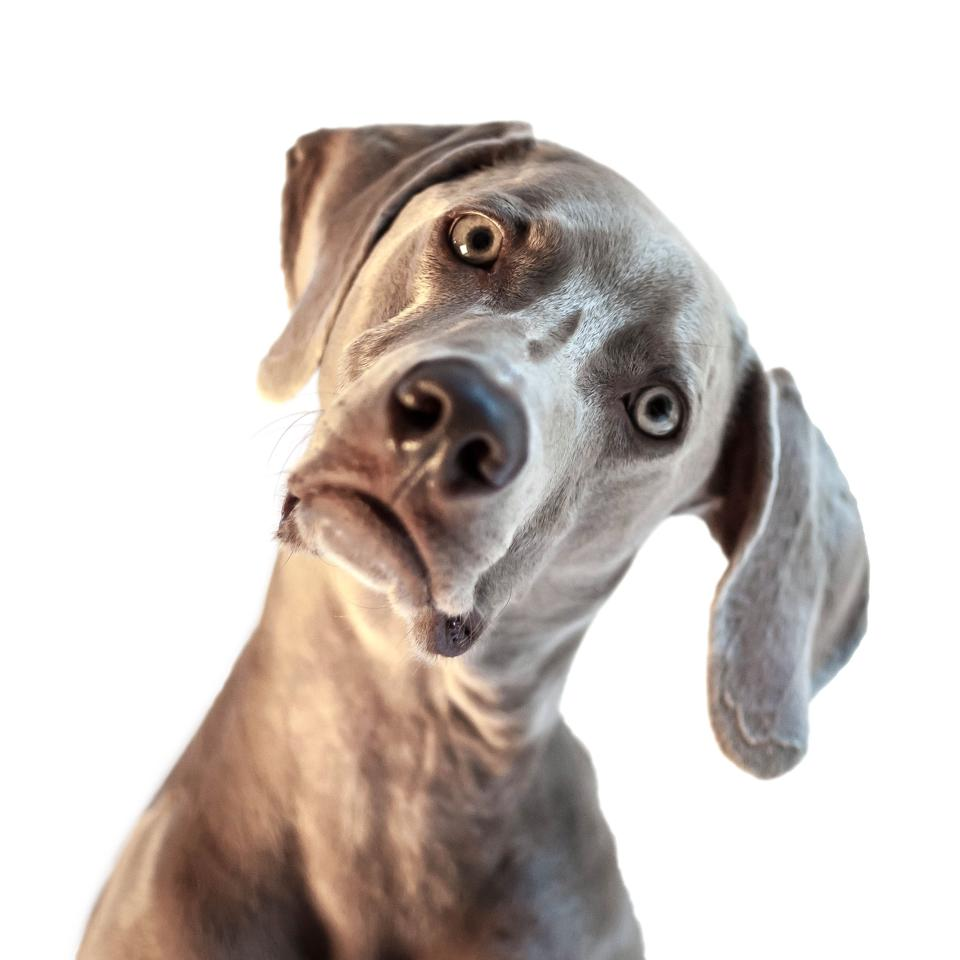 Weimaraner with head cocked
