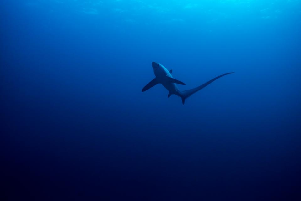 Thresher shark viewed from below with surface detail.