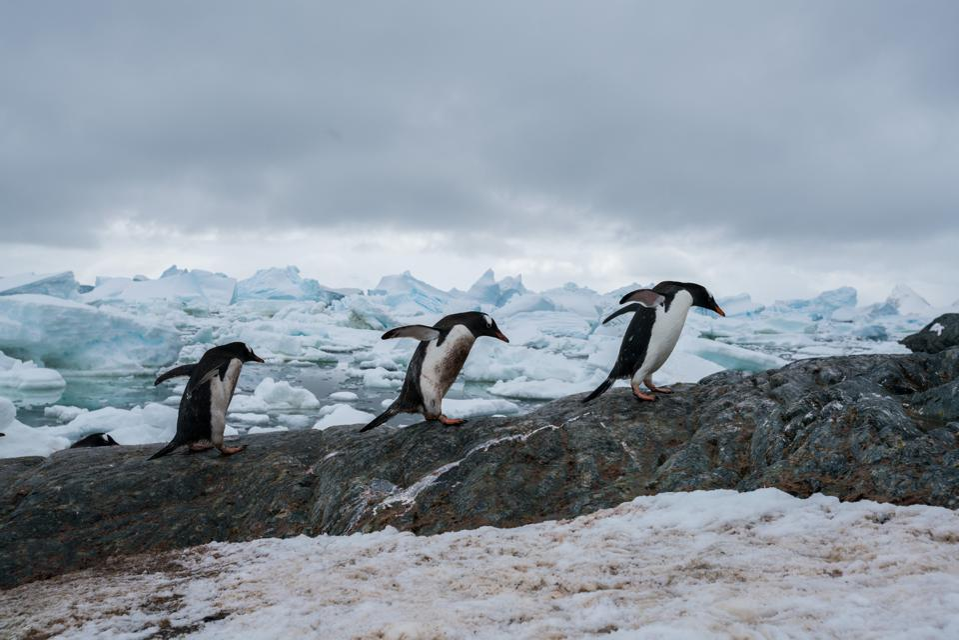 Italian photographer Massimo Rumi captured three Gentoo penguins in their natural habitat in Antarctica.