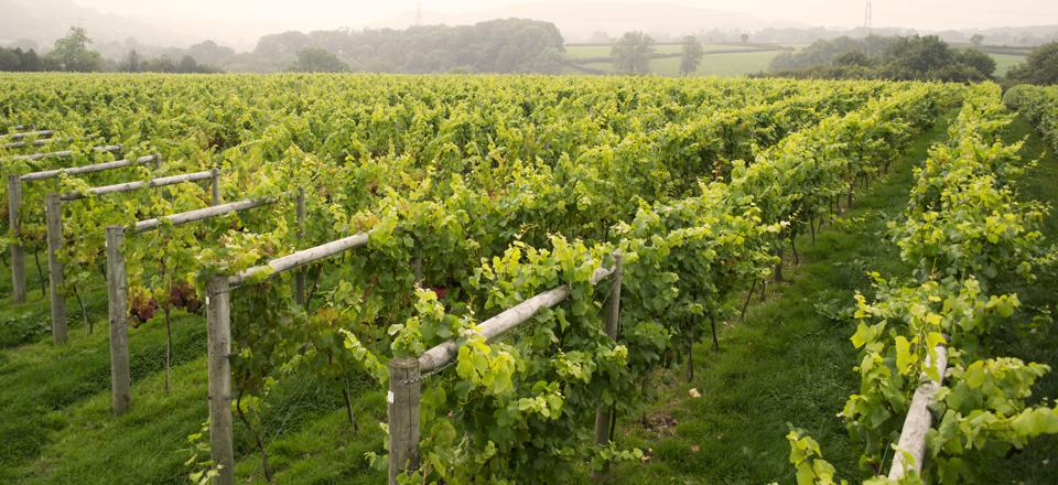 English vineyard An English vineyard (Lyme Bay winery) in early Autumn, a week before harvest. They produce a vintage sparkling and a series of white wines.