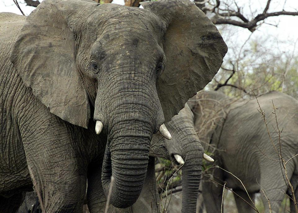 Elephants Are Great, But So Are Immigrants