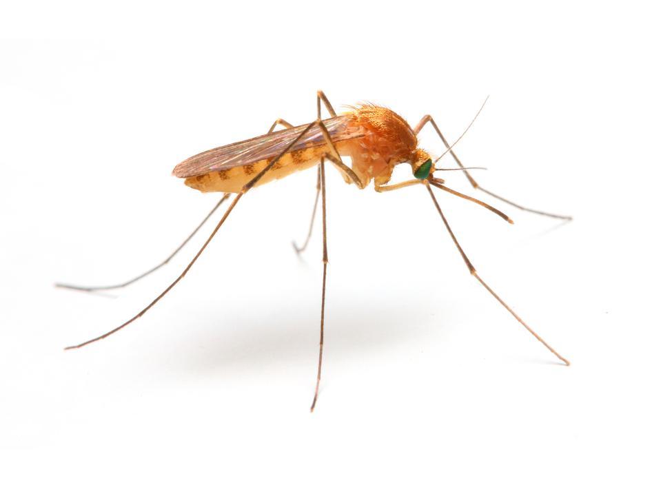 Anopheles mosquito.