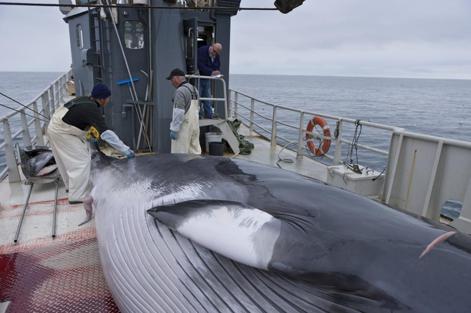 Icelandic whalers with a minke whale in July, 2010.