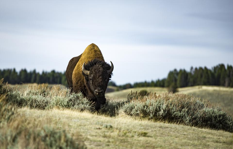 Yellowstone Viral Video Is A Ten Second Lesson In How To Handle Wildlife