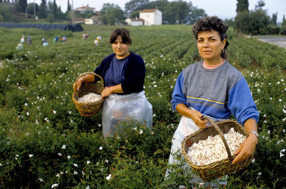 France - Grasse - Perfume - Perfume Industry - Jasmine - Picker