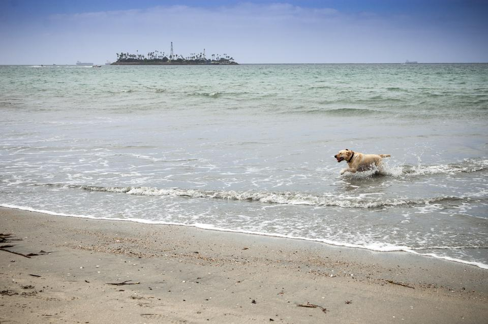 Dog playing fetch in the ocean at Long Beach, CA