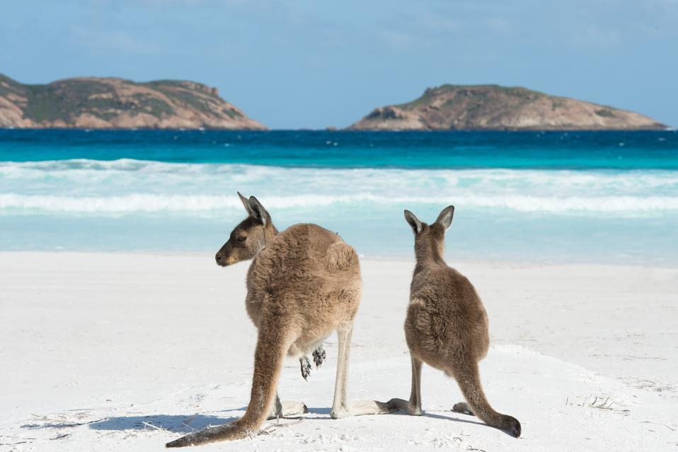 Australian Kangaroos At Lucky Bay