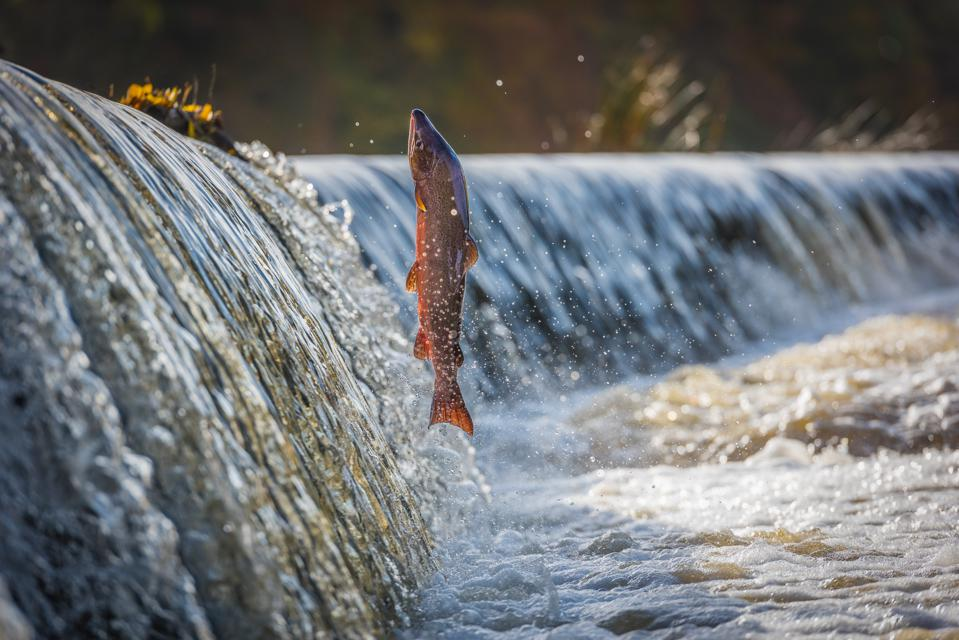 Cock Salmon Leaping Vertical