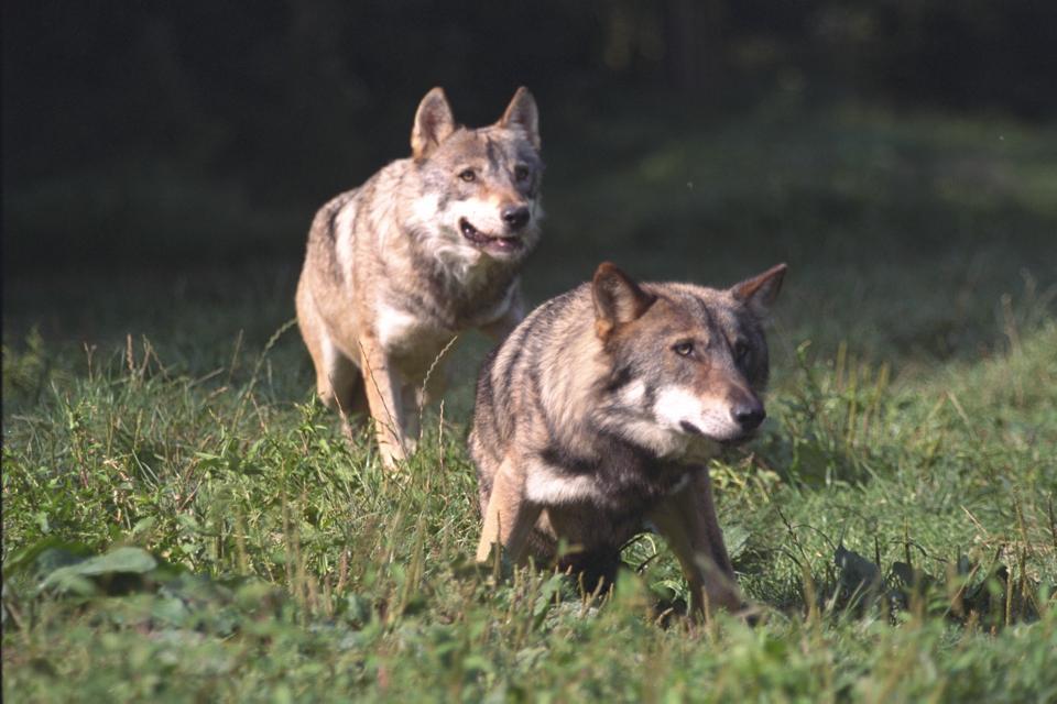 wolves in France