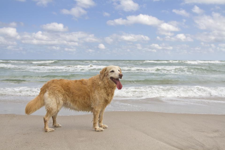 Senior golden retriever on the beach