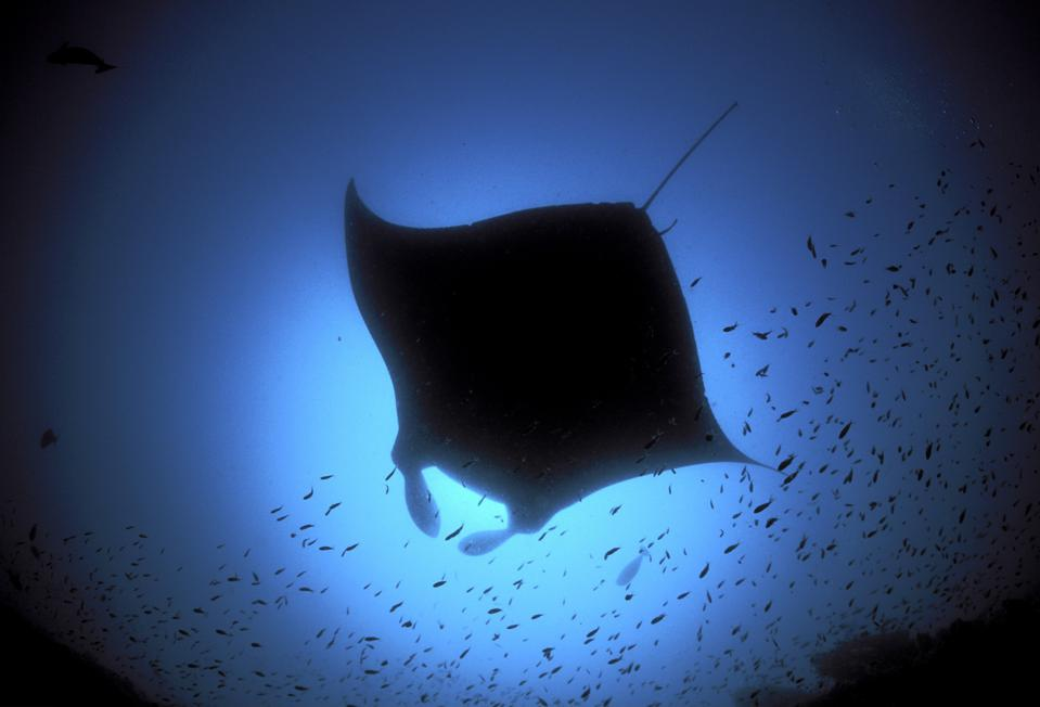 Maldives - : Manta ray (Manta birostris) / Maledives, Indian Ocean
