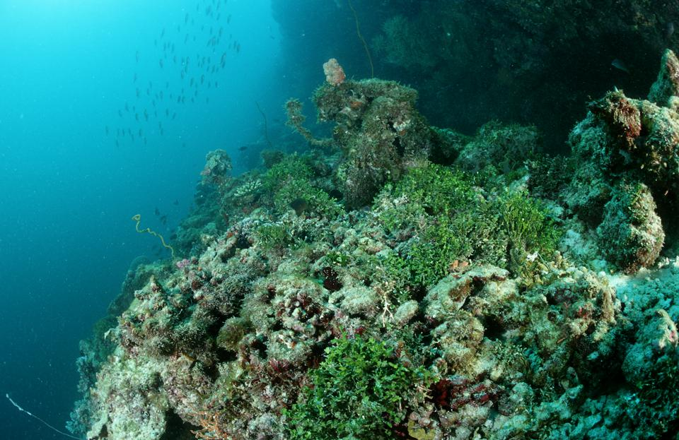 A coral reef overgrown with the seaweed in the Maldives Islands.