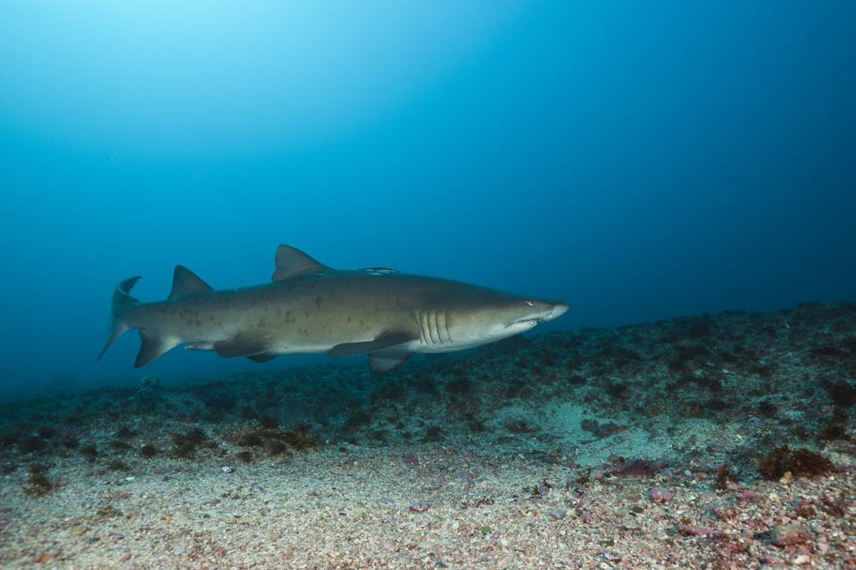 Sand Tiger Shark, Carcharias taurus, Aliwal Shoal, Indian Ocean, South Africa