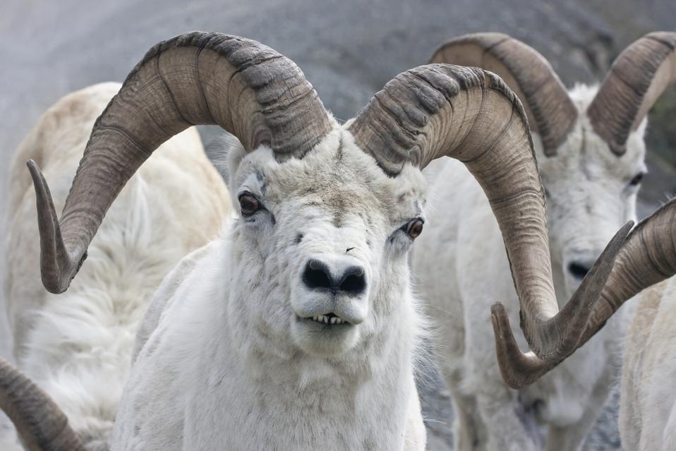 Dall Sheep Ram (Ovis dalli) in Denali National Park