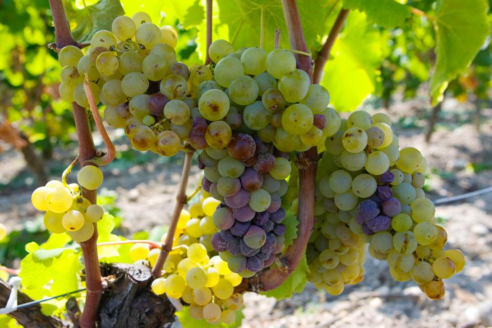 Grape vine, Sauternes, France