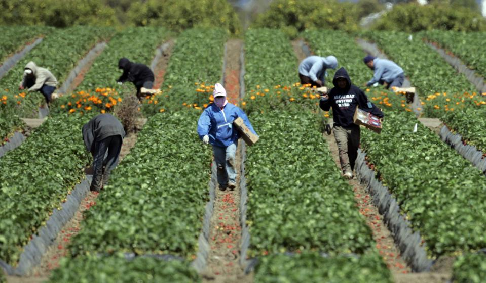 Farm workers pick strawberries at a farm on Telephone Road in Ventura. The farm is across the stree
