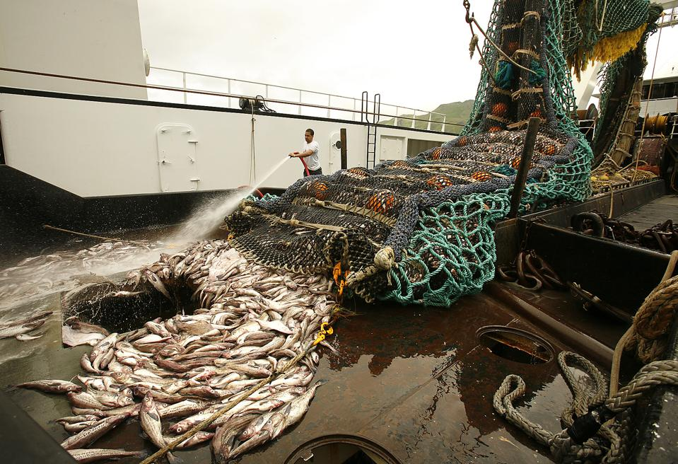 A crewman aboard the Aurora hoses Pollock into the hold of the 191 foot trawler. Alaskan Pollock is
