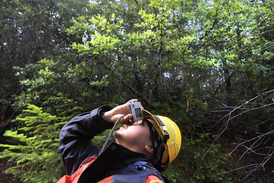 KLAMATH, CA - NOVEMBER 20, 2014:  Yurok tribe forestry technicians Vance Peyron checks the height of