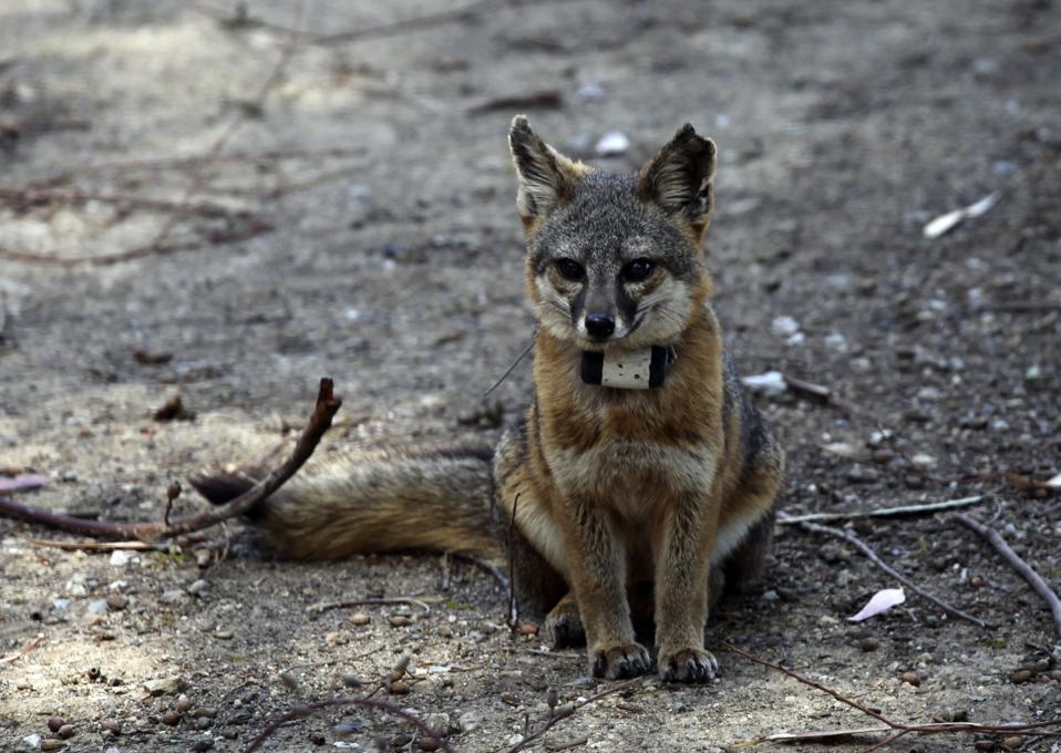 Catalina Island fox near Avalon, California