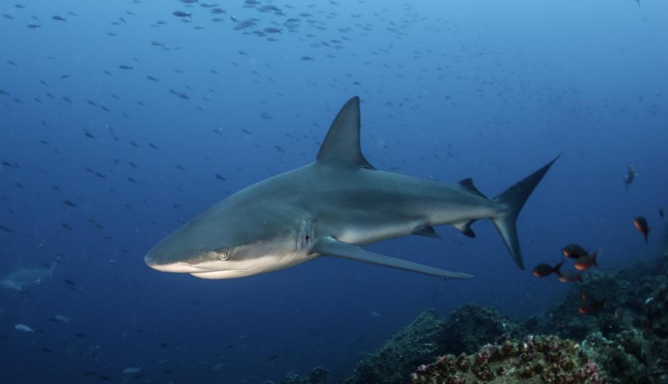 Galapagos Shark On A Reef