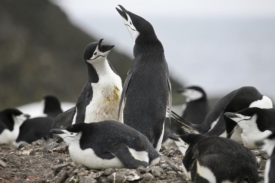 Chinstrap penguin (Pygoscelis antarcticus) protecting nest against intruder on Barrientos Island, South Shetland Islands, Antarctica