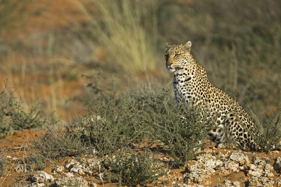 Leopard (Panthera pardus) in the Kalahari desert, Kgalagadi Transfrontier Park, South Africa