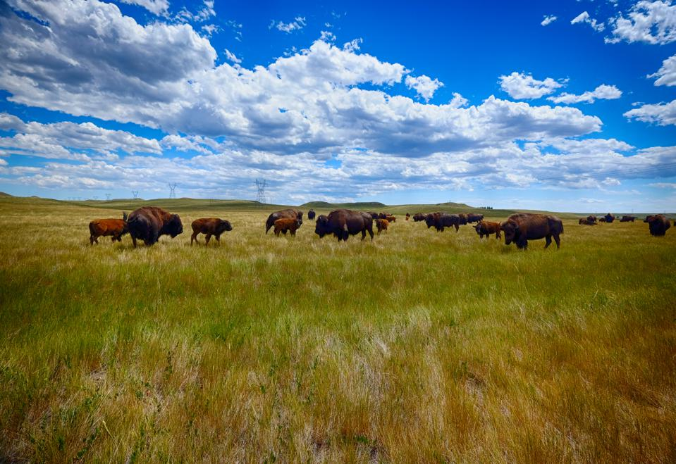 Buffalo on the Prarie in Wyoming