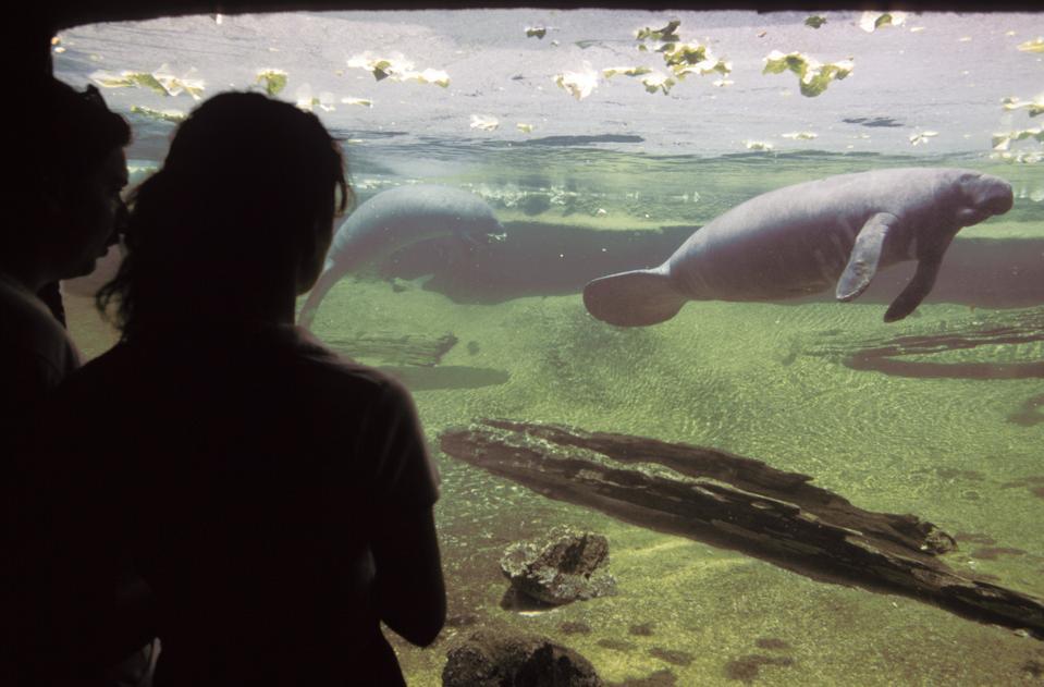 Florida, Tampa, Lowry Park Zoo, Visitors At Manatee Tank