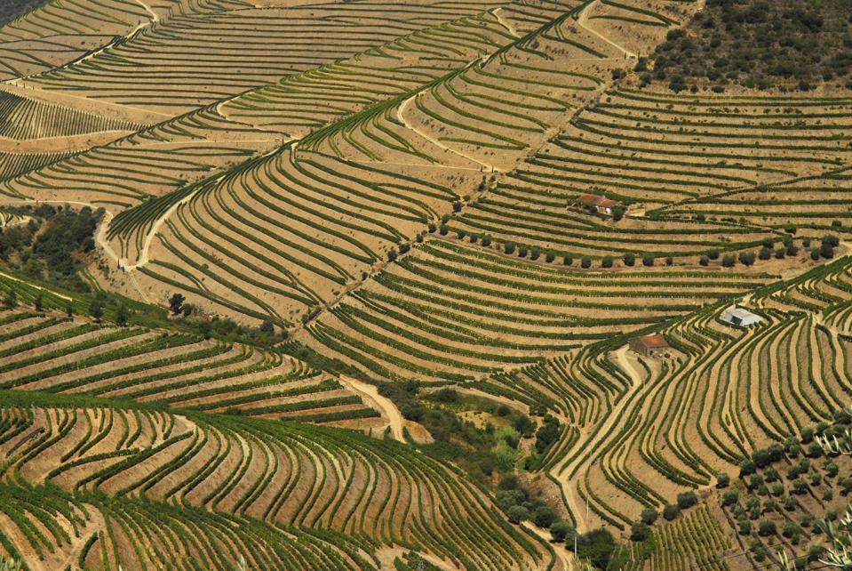 Landscape of Vines in the Douro Valley, Portugal