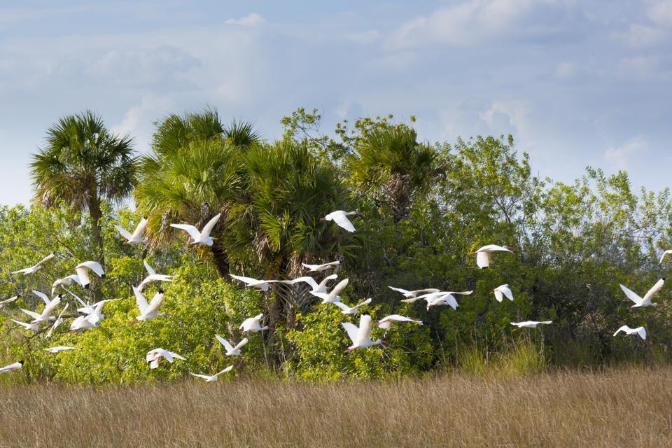 Egret and Stork Flock, Florida Everglades, USA