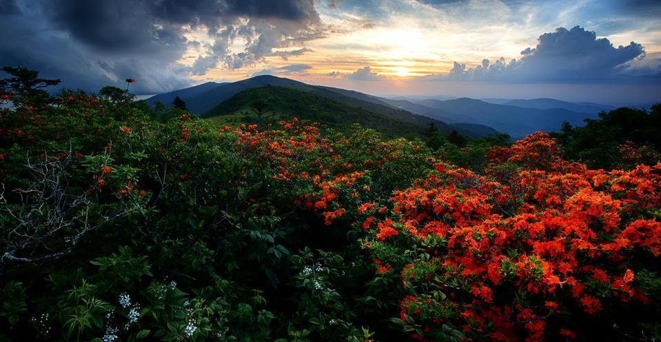 Flame Azaleas on the Appalachian Trail at sunset