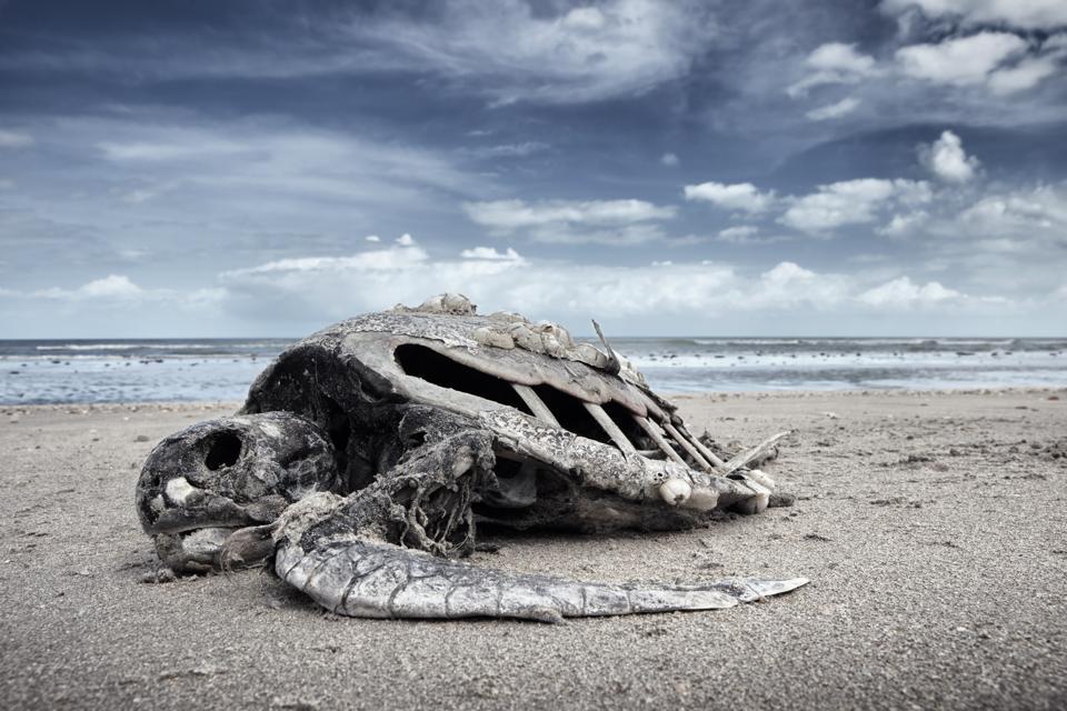 Dead loggerhead sea turtle (caretta caretta) which is an endangered species