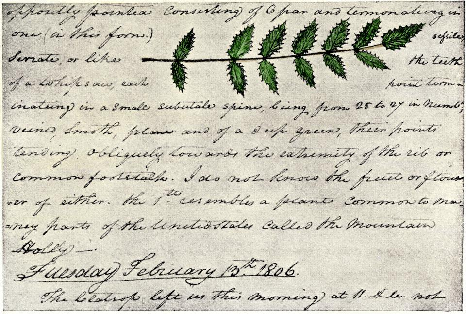 Leaves of the evergreen shrub. Drawing by William Clark, from the diaries of the Lewis and Clark Expedition through Montana and other western states, February 12-13, 1806.