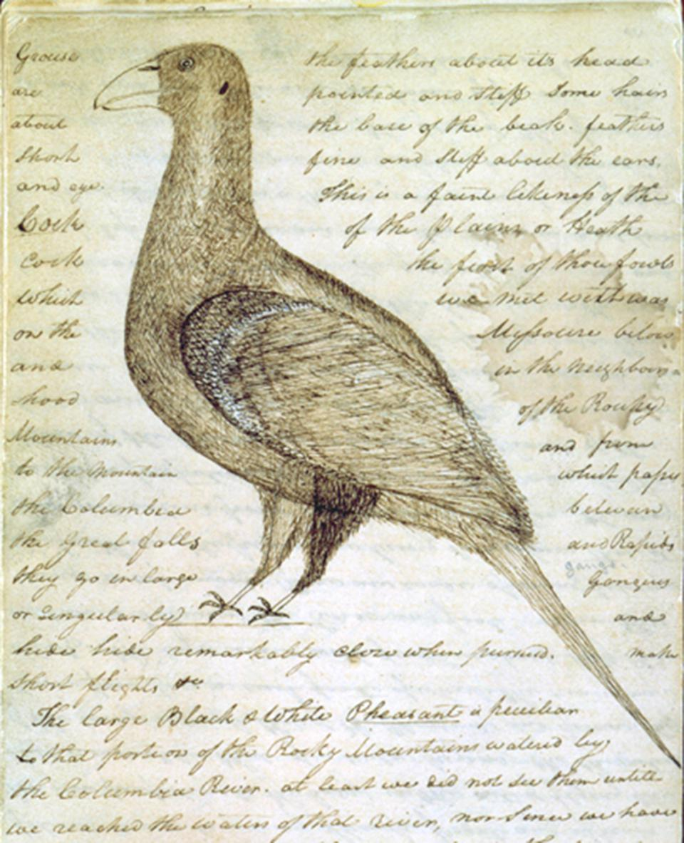 Sage grouse. Drawing by William Clark, from the diaries of the Lewis and Clark Expedition through Montana and other western states, March 2, 1806.