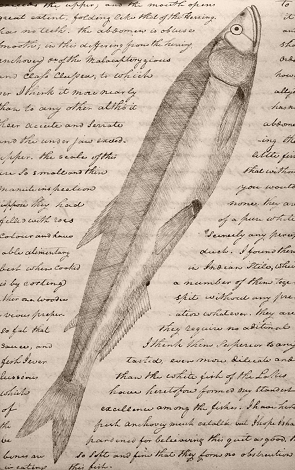 Euchalon. Drawing by Meriwether Lewis, from the diaries of the Lewis and Clark Expedition through Montana and other western states, February 25, 1806.
