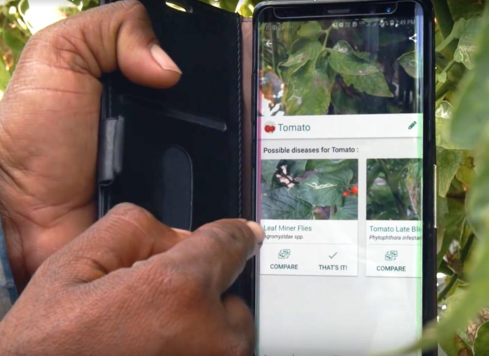 Farmer Sandip Shinde using the Plantix app on tomato crops.