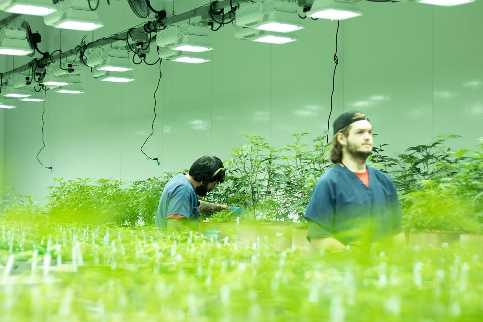 Staff in Grow Room