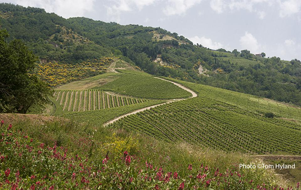 Cutizzi Vineyard